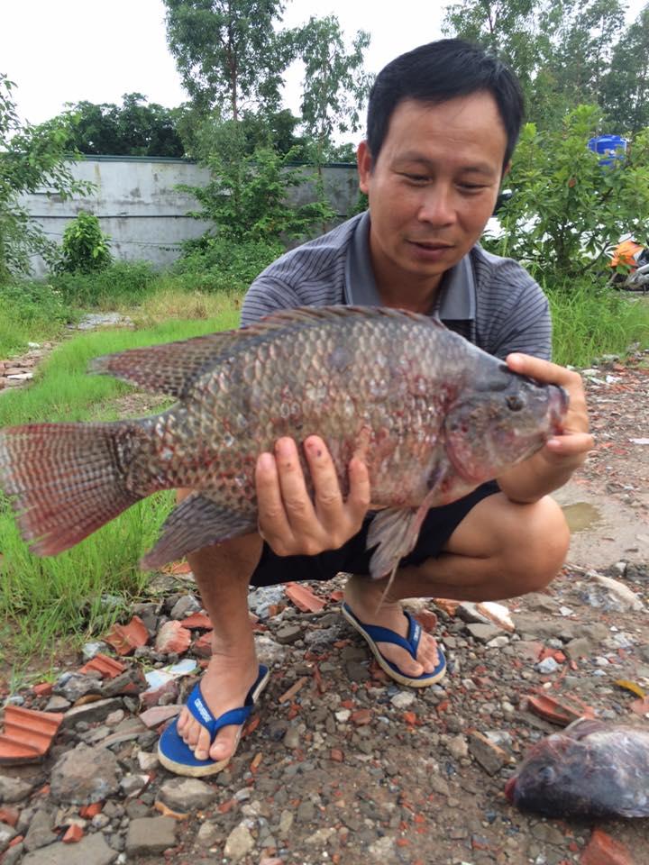 cách làm mồi câu cá rô phi