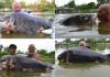 cá chép khủng nhất thế giới