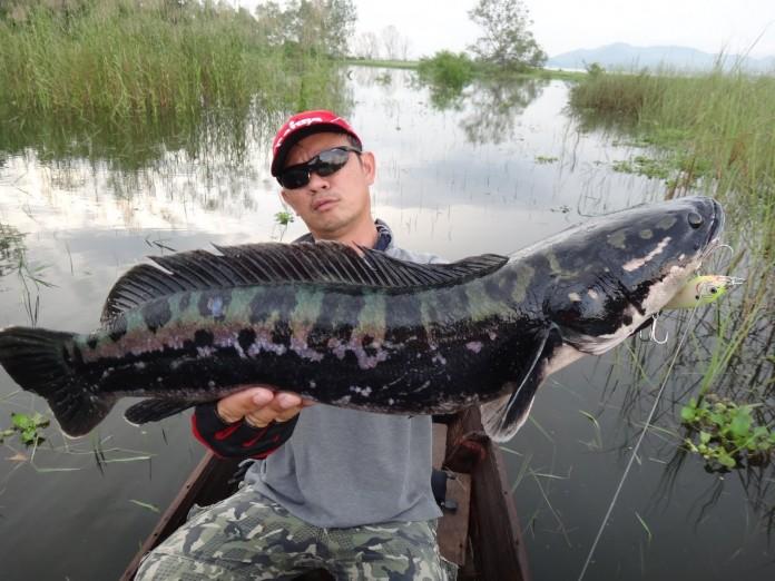 cách làm mồi câu cá lóc cá quả hiệu quả