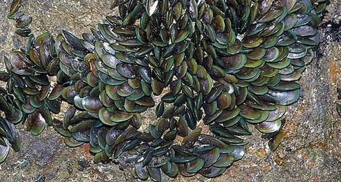 green-mussel