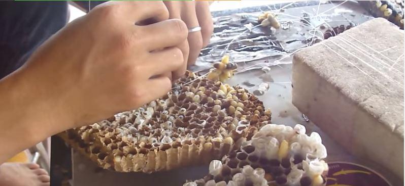 nhộng ong câu cá lóc